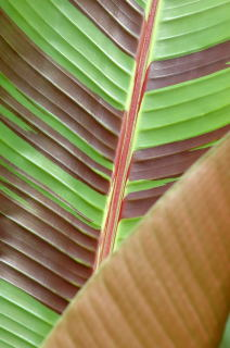 Musa sikkimensis leaf detail.