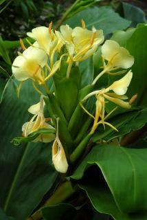 Hedychium maximum in flower