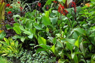 Canna warscewiczii growing in a tropical border.