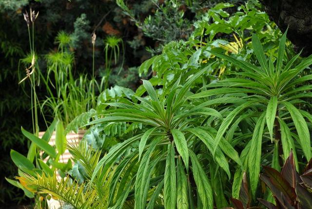 Echium pininana growing in a tropical border setting