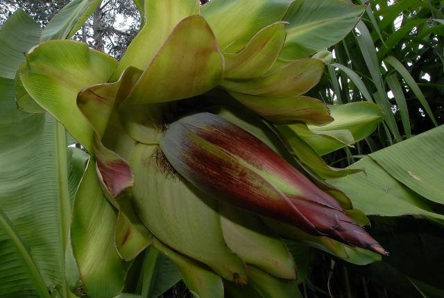 Abyssinian banana flower