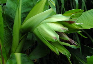 The Abyssinian banana flower begin to open