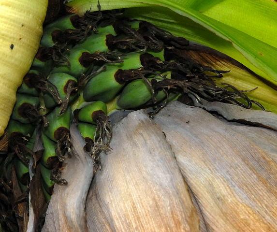 Green Abyssinian bananas