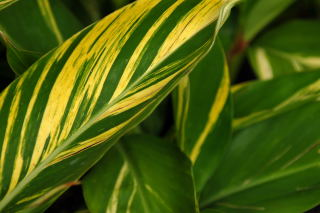 Leaf pattern of alpinia zerumbet 'variegata'