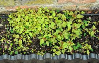 Self sown seedlings