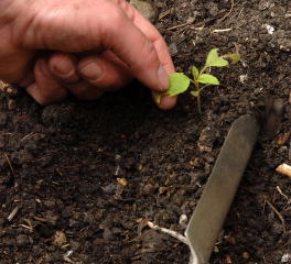 Seedlings replanted