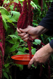 Harvesting Amaranthus seeds