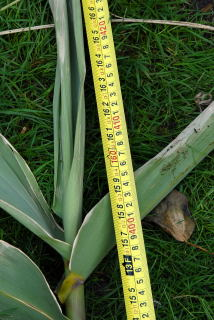 Final height of an Arundo donax stem