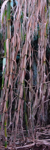 Brown winter stems of Arundo donax