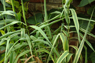 Arundo donax variegata growing in a container.