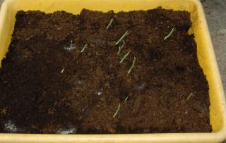The appearance of Arundo donax variegata shoots.
