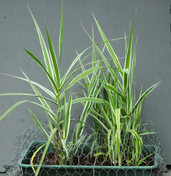 Arundo donax variegata growing through a protective chicken wire cover.