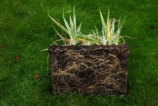 Arundo donax variegata root system