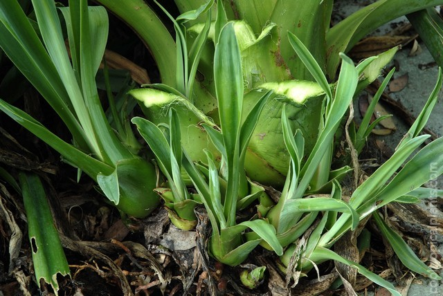 Base of a Beschorneria flower stem showing the development of offshoots or bulbils