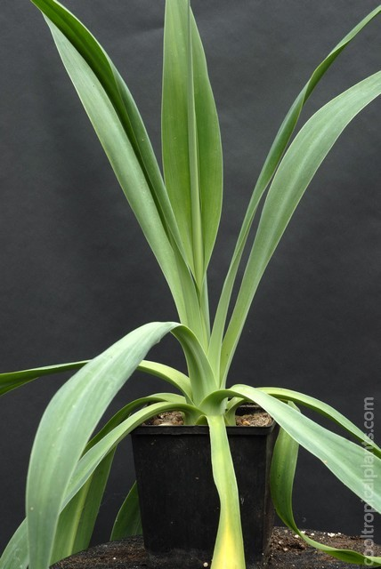 A seed grown Beschorneria yuccoides