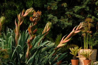 Beschorneria yuccoides flower