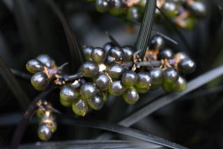 Un-ripe seeds of Ophiopogon planiscapus 'Nigrescens'