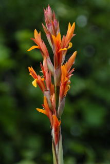Flower of canna altensteinii.