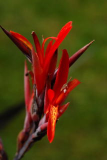 Flower of cana coccinea