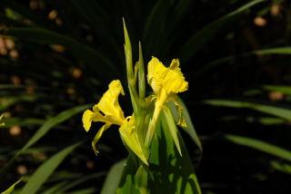 Canna flaccida flowers