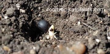Canna lily seed awaiting burial