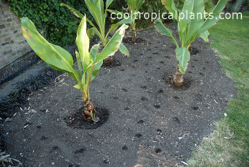 Watering each hole helps you to see where each canna seed has been planted