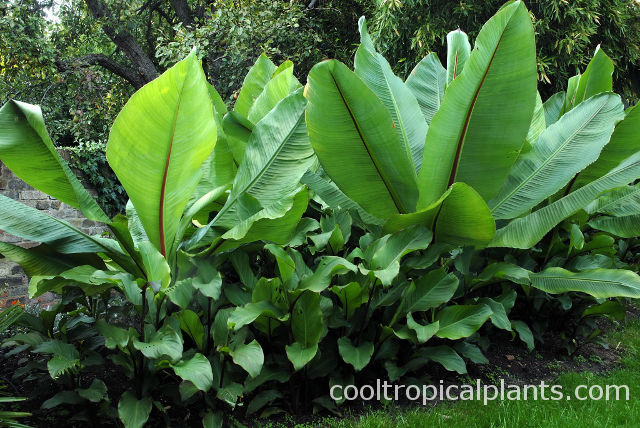 Ensete ventricosum growing in a soil full of Canna lilies