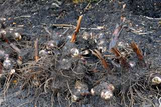 A pile of excavated canna rhizomes