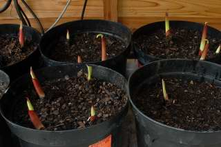 Canna shoots emerging ten days after planting.