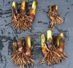 Canna Paniculata rhizomes