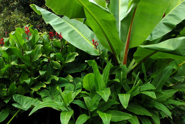 C.warscewiczii, C.paniculata and Ensete ventricosum provide the foliage.