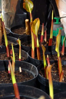 New shoots of canna indica purpurea raised on a heated mat.