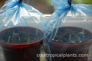 Canna flower bulbs: tips for planting, growing and storing canna.