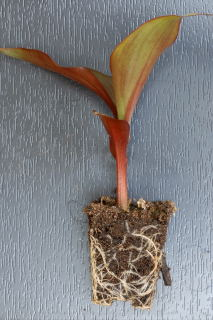 Root system of a young canna plant.
