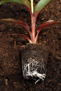 Root system of a canna plant