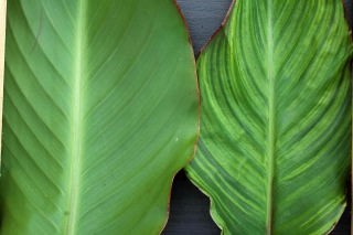 A normal canna leaf on left and a leaf exhibiting a virus on right