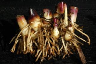 Canna warscewiczii rhizome