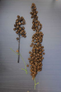 Castor oil plant seed spikes