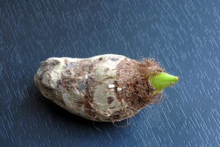 Sprouting Arvi tuber