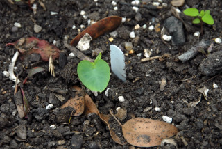 Small colocasia leaf emerging from the soil 27th June