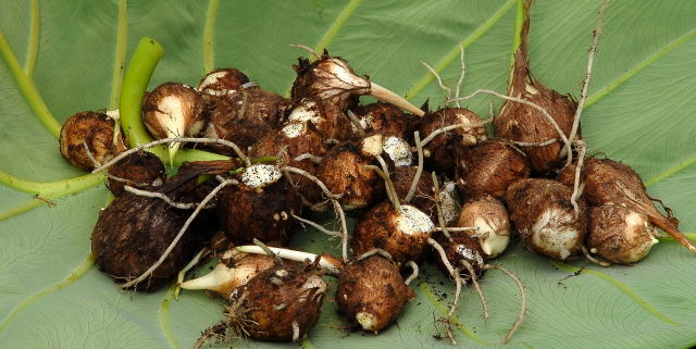 Colocasia esculenta tubers removed from parent plants