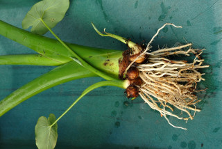 Uprooted colocasia esculenta plants showing roots and new tubers