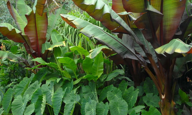 Colocasia esculenta growing amongst Ensete and Canna