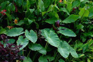 elephant ear plant - colocasia esculenta var antiquorum