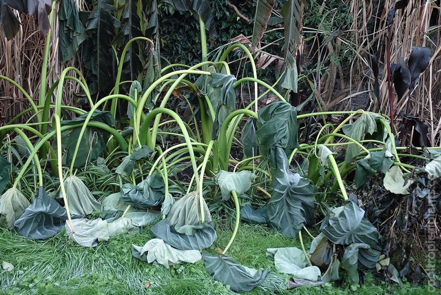 Frost damaged Colocasia