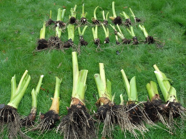 Colocasia plants with foliage removed lying of the lawn