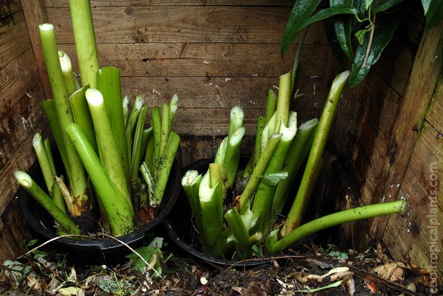 Colocasia tubers placed in the compost heap in pond baskets