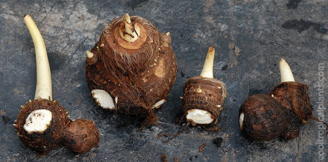 Divided Colocasia tuber