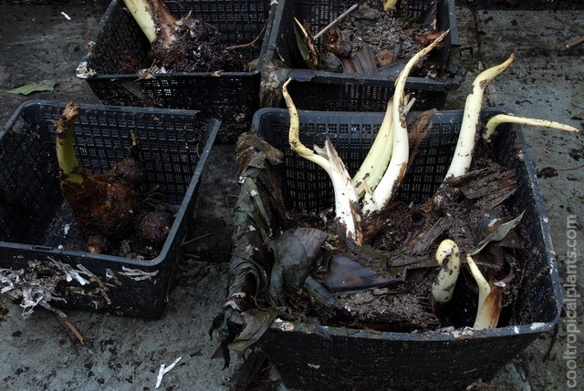 Colocasia tubers removed from the compost bin