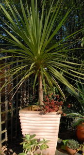 Cordyline Australis growing in a terracotta pot.